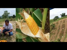 SMC corn purchase farmers pandemic