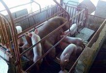 Hog raising Philippines